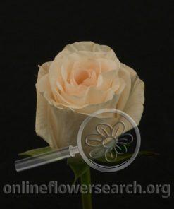 Rose Lady Jane