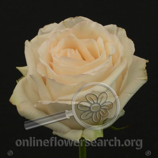 Rose Emely
