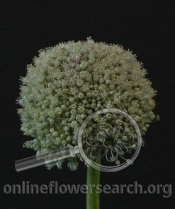 Allium Ameloprasum