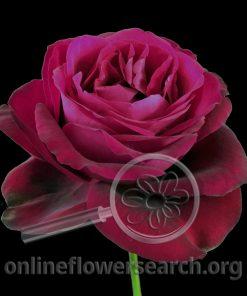 Rose Aldebaran
