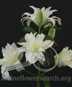 Lily Oriental Roselily Snowboard