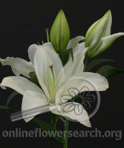 Lily Oriental Severn