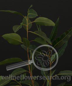 Eucalyptus tetragonia