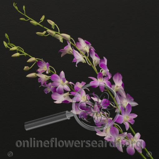 Dendrobium Sugar Sweet
