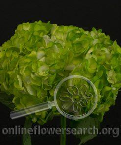 Hydrangea Tinted Green