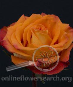 Rose Careless Whisper