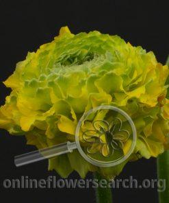 Ranunculus Pon-Pon Stella