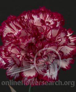 Carnation Cumbia
