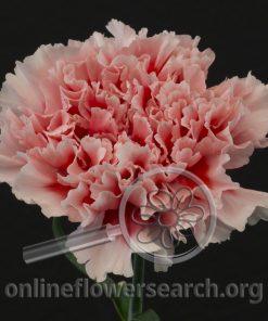Carnation Felix