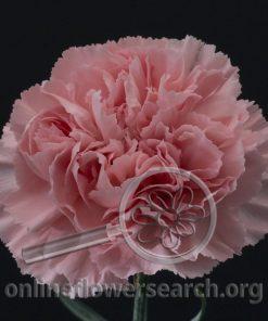 Carnation Bellissima
