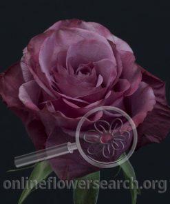 Rose Alana