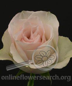 Rose Ragazza