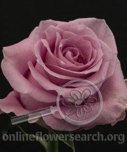 Rose Famous