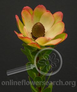 "Leucadendron Water Lily ""mature"""