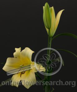 Lily Sonata Eudotia