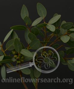 Eucalypthus preissiana