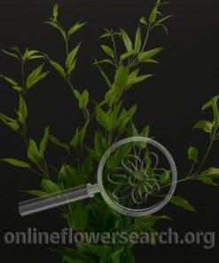 Stemona japonica 'Rikyoso'