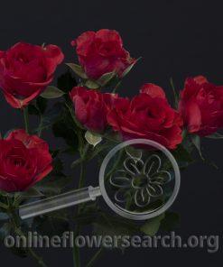 Spray Rose 4-Good Red+