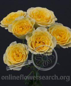 Spray Rose 4-Good Yellow+