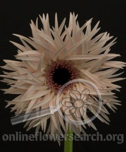 Gerbera Cream Springs
