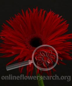 Gerbera Pepper Springs