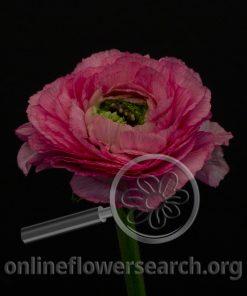 Ranunculus Cloni Rosado