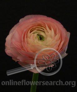 Ranunculus Cloni Venere