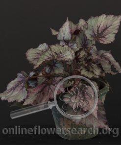 Begonia rex 'Mikado'