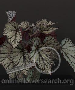 Begonia rex 'Fairy'