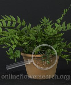 Dwarf Holly Fern