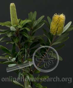 Integrafolia Natural Flowering