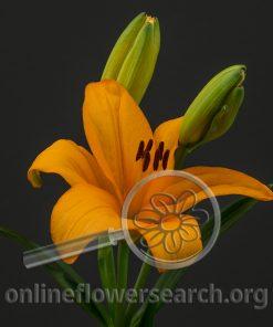 Lily Asiatic Heraklion