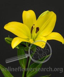 Lily Asiatic Serrada