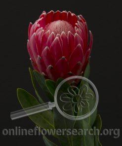 Protea Hapapa Mink