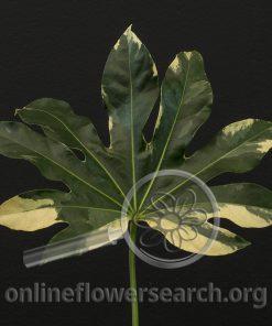 Fatsia japonica (Aralia) Variegated