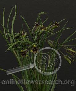 Fritillaria elwesii