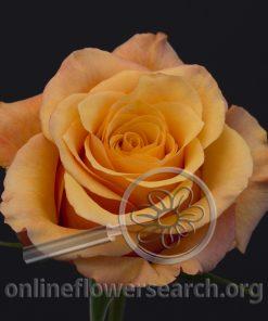 Rose Lumia