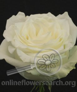 Rose Miss Blanca (aka Miss White