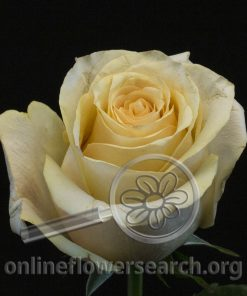 Rose Peach Love