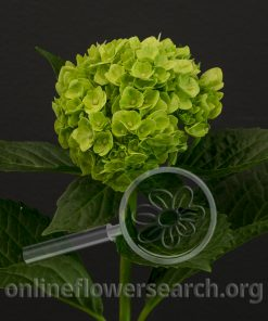 Hydrangea Mini Mojito (natural)