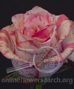 Rose Magic Times