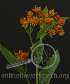 Asclepias 'Beatrix' (Butterfly Weed)