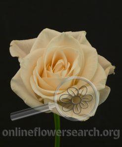 Rose Medeo