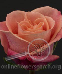 Rose Helene