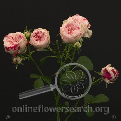 Spray Rose Speckled Opal Gem