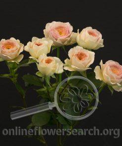Spray Rose Blushing Parasol