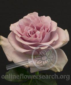 Rose Lovina