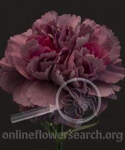 Carnation Hypnosis