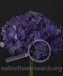 Hydrangea Jumbo Purple Splendor