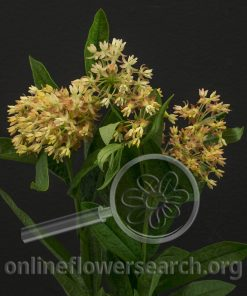 Asclepias 'Heron King' Crème (Butterfly Weed)